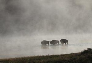 bison-1801981_960_720